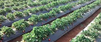 visit-to-strawberry-filed